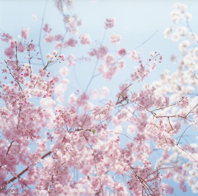 ブログ用桜01
