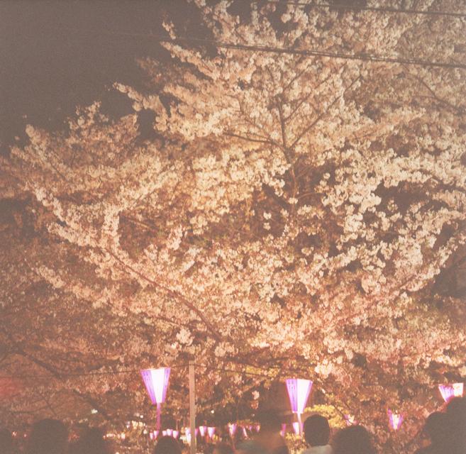 ブログ用桜02